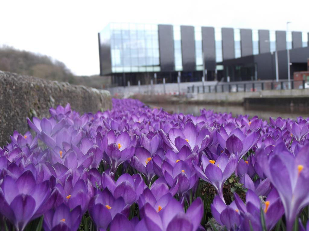 Purple 4 Polio Crocuses planted by Rotarians in the centre of Northwich