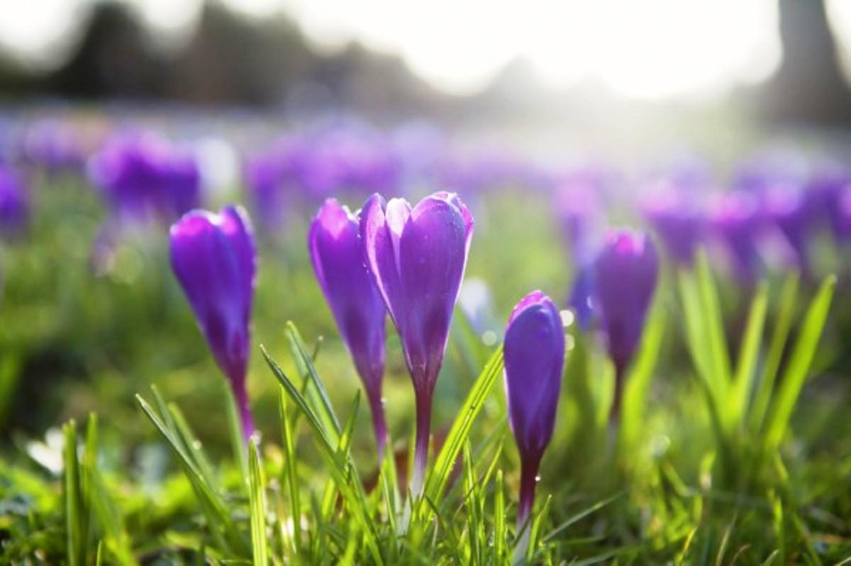 Witney's Purple Crocuses -