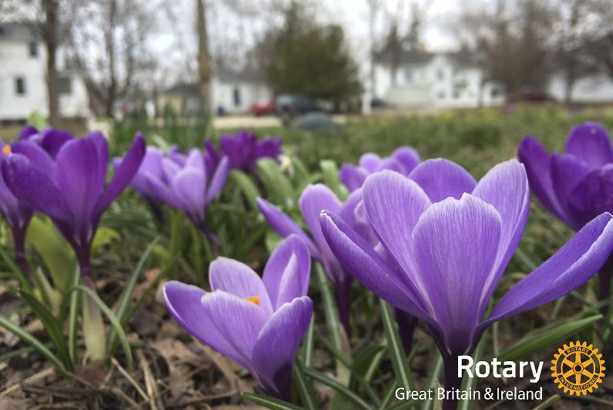 Purple 4 Polio Crocuses for 2019 -