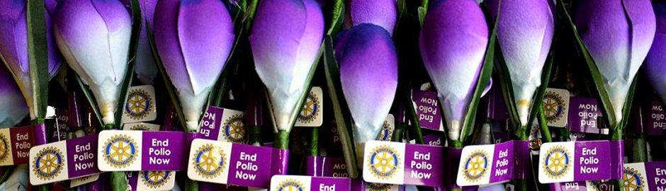 The purple crocus, the symbol of Rotary's campaign to end Polio