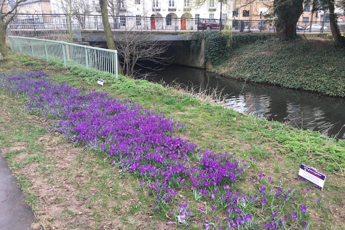 These crocuses have been blooming next to the river at the entrance to Sworders Field near the Children's Paddling Pool in Castle Gardens.