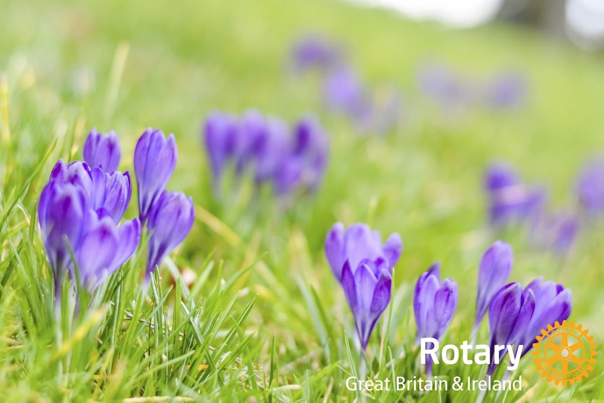 World Polio Day - planting purple crocus corms