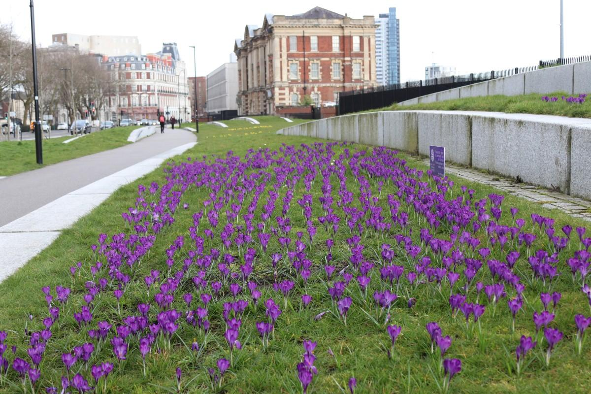 Crocus Planting at Vokes Memorial Garden in Southampton - A Fine Bed of Blooming Crocii