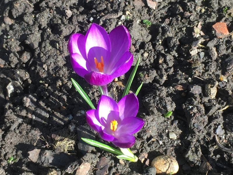 The first Crocuses have bloomed! - Crocuses in bloom.