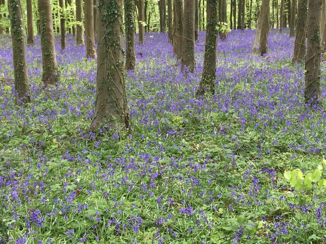 Walk the Wye - Bluebells along the route