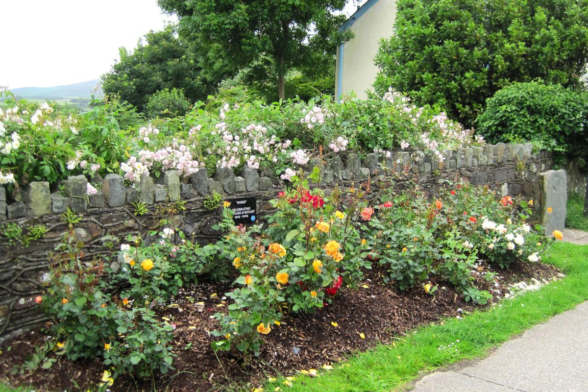 Gardening in Fishguard - Shrubbery in West Street Fishguard planted with Rotary Centenary Roses