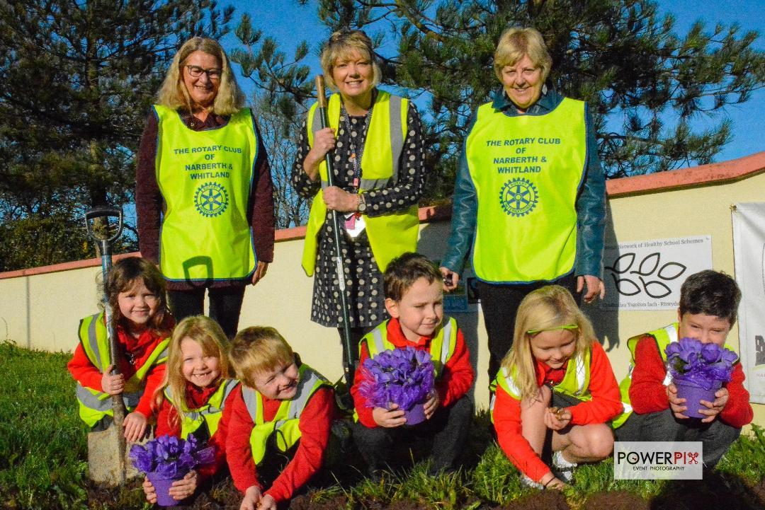 Narberth Rotakids and Members of Narberth and Whitland Rotary Club together with head teacher Nia Ward planting the Crocus in October and now they are blooming lovely