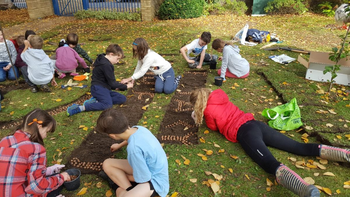 Crocus planting at Charlton Kings Junior School - Crocus Planting