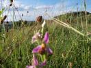 Bee Orchid -