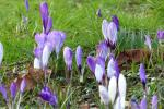 Sponsored Crocus Walk