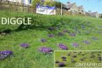 Crocuses planted by Children from Diggle and Greenfield Schools