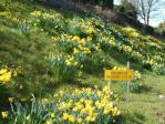 The daffs in bloom