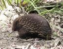 Echidna. One of the two monotremes