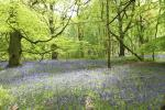 Bluebells in Wychwood Forest