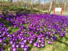 Purple for Polio - Crocuses at the Interface Roundabout