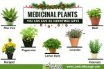 Medicinal Plants that can be given at Christmas