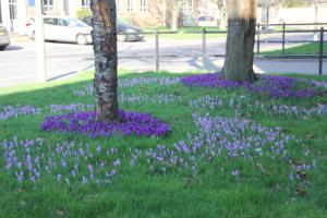 CROCUS PLANTING IN TOTTON AND LYNDHURST