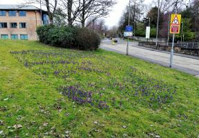 Early crocuses appearing March 2021