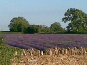 Visit to Somerset Lavender Farm