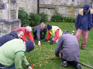 Crocus corm planting at Aspire