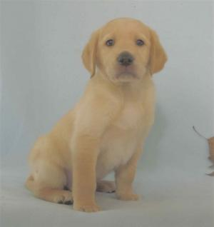 "Our Guide Dog Puppy ""Blaize"""