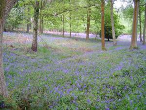 Bluebell Walk 2007