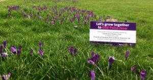 Crocuses bloom for Purple4Polio