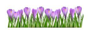 Get your crocus bulbs now!