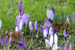 Sponsored Crocus Walk Cae Glas Park 11.00am - CANCELLED DUE TO RAIN