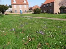 Purple crocuses around Aylsham