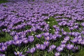 POLIO CROCUS IN BLOOM 2018