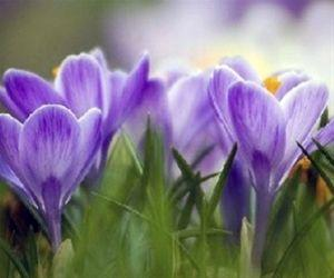 Purple Crocus Sequel - Cae Glas Park, Thursday 17th February 2.15pm