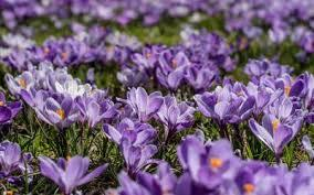 Purple Crocus Planting