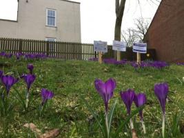 World Polio Day - Crocus Planting