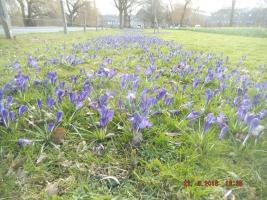 Purple for Polio: Crocus Planting with Moss Lane School