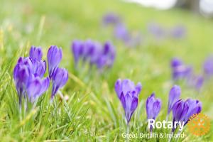 Rotary purple crocus