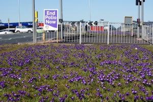 End Polio Crocuses this year