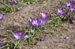 Purple crocuses in bloom 2011
