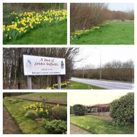 The daffodils planted by our club