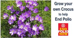 Grow your own Crocus