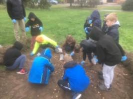 Cubs planting purple crocuses - in the rain!