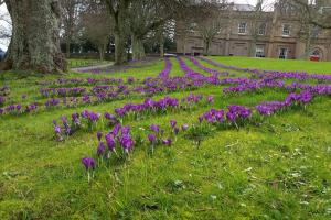 The Purple Crocus Project - Crocuses in Bloom (March 2017)