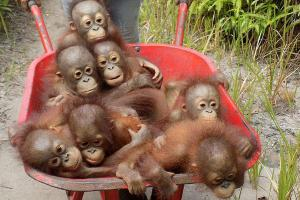 Speaker Anthea Mearns: Orangutans in Borneo Project