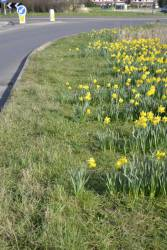 Our daffodils in bloom on 16th March 2014 along the Bourne by-pass