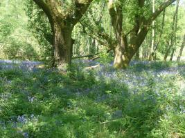 Bluebell Walk - May 2014