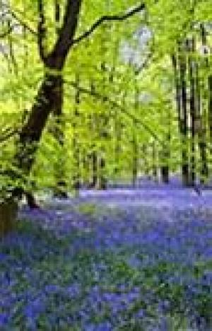 Bluebell Charity Walk
