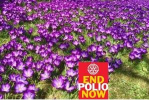 Purple 4 Polio Crocus Planting