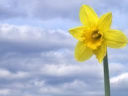 Just the right flower for St David's Day.