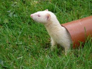 Fun & Frolics with Ferrets
