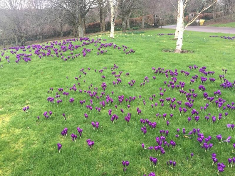 Purple Crocus at Rosemoor, Torrington Feb 2019
